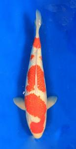 085-Nirwanakoi Jkt-ginrin A-53cm