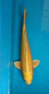 279-Adi Sanjaya - Living Art Koi - Solo - Hikari Mujimono - 36cm