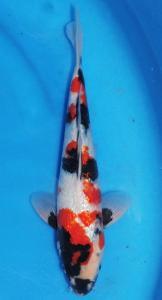 252-Agustiono Kusumadi-Twin Koi-Kudus-Kinginrin A-35 cm