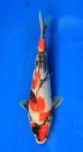 082-Nirwanakoi Jkt-ginrin A-21cm