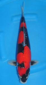 274-Sadu A. Prabowo-Twin Koi-Tangerang-Goshiki-44 cm