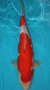 416-good one koi-good one koi-surabaya-kohaku-45 cm-male
