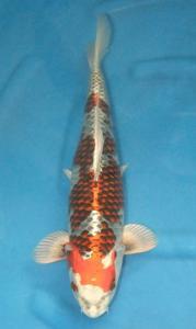 491-davy -jakarta koi center-jakarta-kujaku-45cm