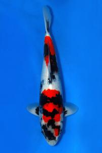 112-PAUL BUDIMAN - SAMURAI KOI CENTRE - SHOWA 42 CM