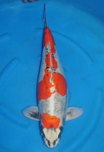 263-Dogama-Twin Koi-Jakarta-Kawarimono-63 cm